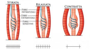 fibra-neuromuscolare
