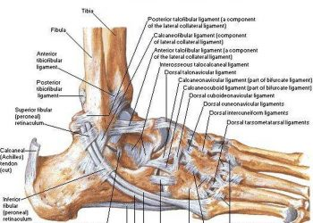 Pictures of ankle joint ligaments 39